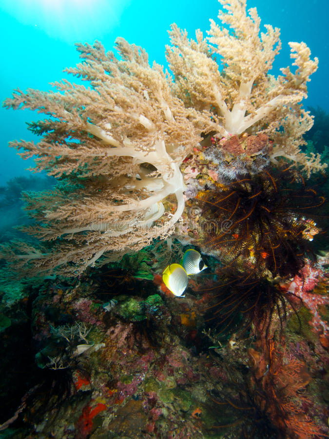 Φιλιππινέζικο butterflyfish στο μαλακό κοράλλι στοκ εικόνα