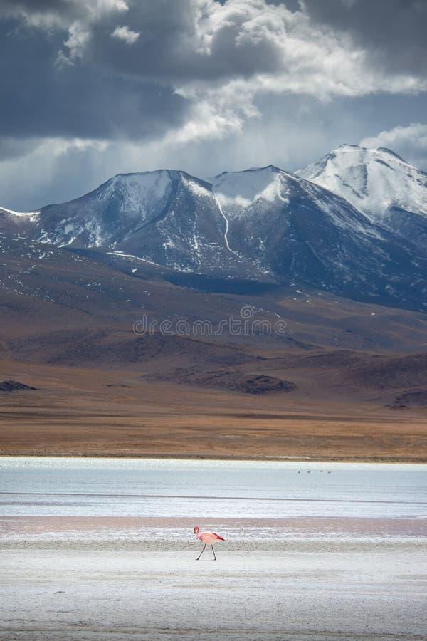 Φλαμίγκο και θυελλώδης καιρός στη Βολιβία στοκ εικόνα