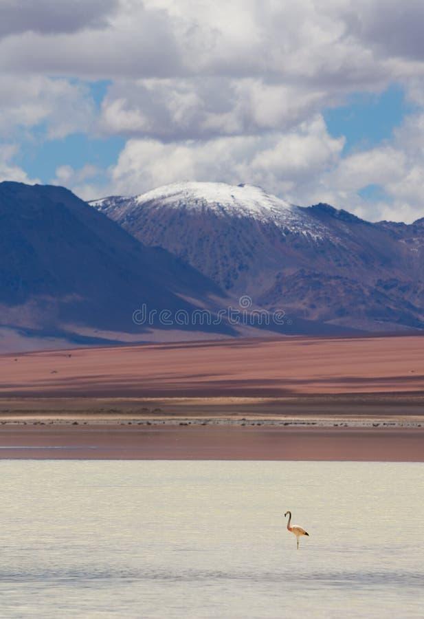 Φλαμίγκο, που στέκεται στη λίμνη, Βολιβία στοκ εικόνες