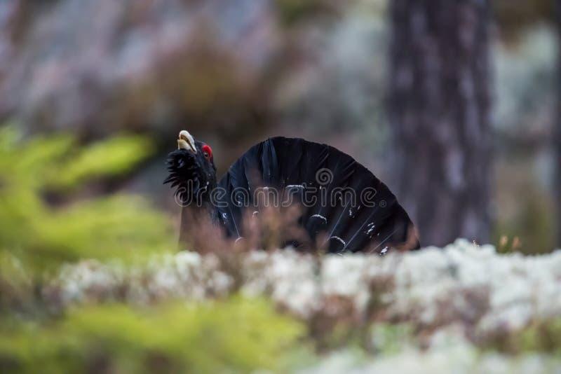 Φλερτάρισμα Woodgrouse που εισάγεται από πίσω από την άκρη στοκ εικόνες