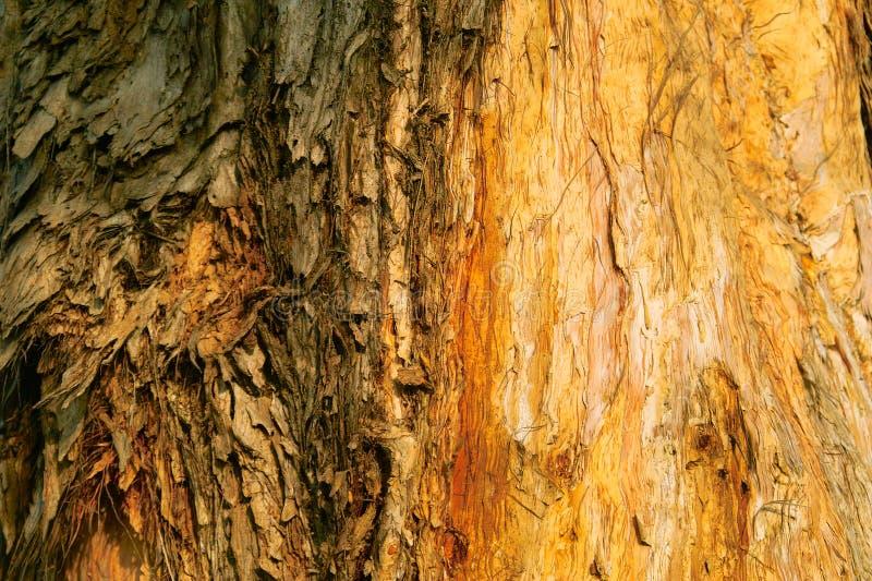 Download φλοιοί στοκ εικόνα. εικόνα από δέντρο, ευκάλυπτος, κραχτών - 13180829