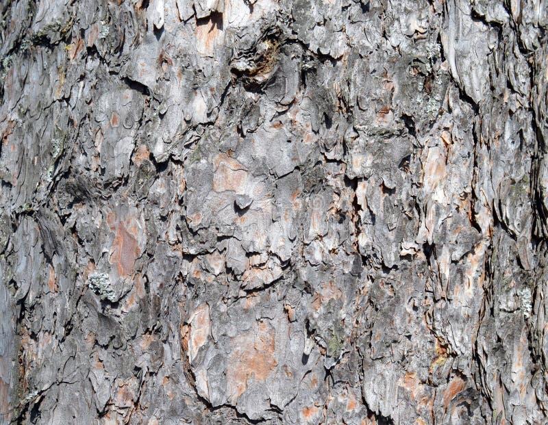 Φλοιός, δέντρο, σύσταση, ξύλο, φύση, περίληψη, καφετιά, σχέδιο, τραχύς, κατασκευασμένος, παλαιό, πεύκο, κορμός, δάσος, επιφάνεια, στοκ φωτογραφία με δικαίωμα ελεύθερης χρήσης