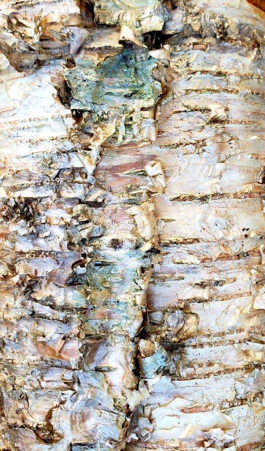 Φλοιός δέντρων σημύδων στοκ εικόνα