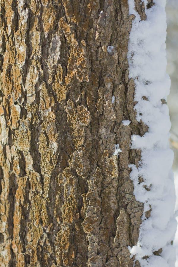 Φλοιός ενός δέντρου μια ισχυρή σύσταση που καλύπτεται με με τις κουρτίνες χιονιού στοκ εικόνα με δικαίωμα ελεύθερης χρήσης