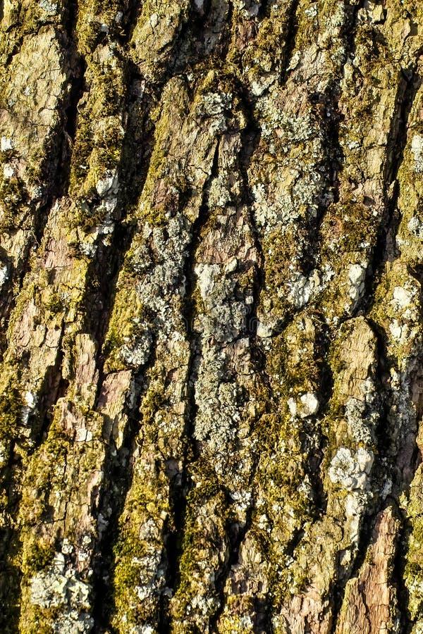 Φλοιός μιας αγγλικής δρύινης, κοινής βαλανιδιάς, Quercus robur, Quercus pendunculata, με τις λειχήνες και τα βρύα στοκ εικόνα