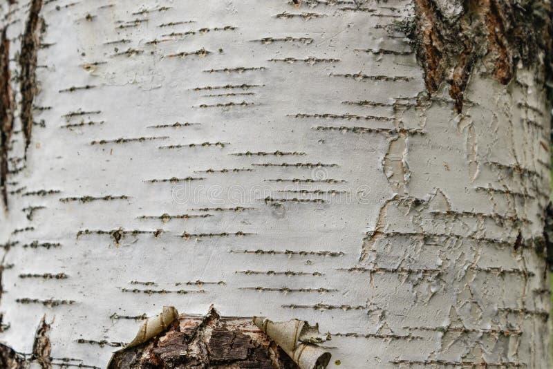 Φλοιός σημύδων, φυσική ξύλινη σύσταση o στοκ φωτογραφία με δικαίωμα ελεύθερης χρήσης