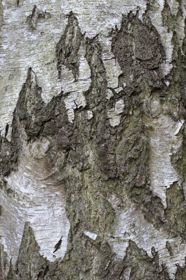 Φλοιός του ασημένιου δέντρου κλαίουσας Σημύδας σημύδων στοκ φωτογραφία με δικαίωμα ελεύθερης χρήσης