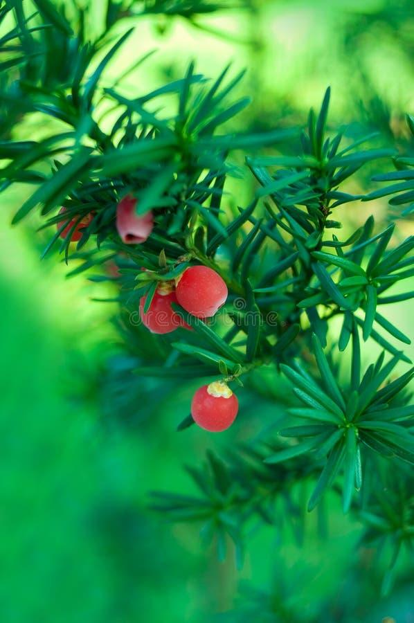 Φλώριδα yew στοκ εικόνα με δικαίωμα ελεύθερης χρήσης