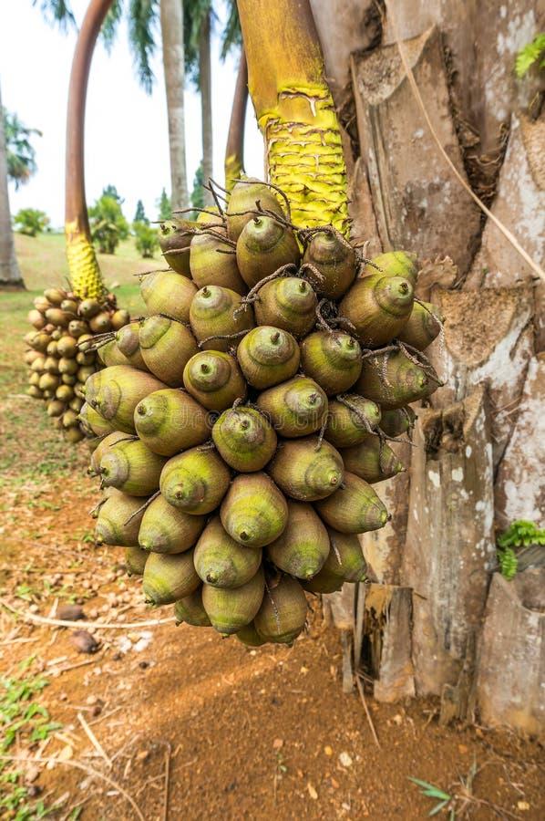 Φοίνικας ή Orbignya Cohune Cohune στοκ φωτογραφία με δικαίωμα ελεύθερης χρήσης