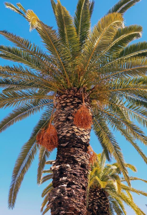 Φοίνικας ημερομηνίας της Κρήτης στοκ εικόνες με δικαίωμα ελεύθερης χρήσης