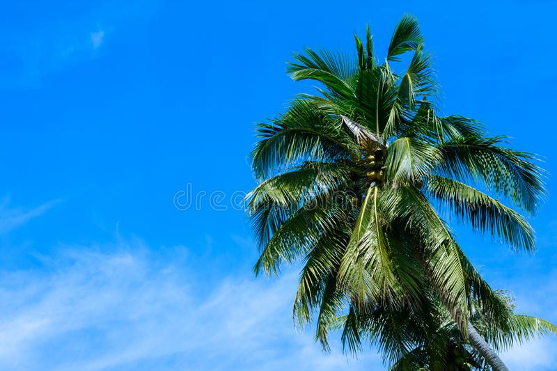 Φοίνικας καρύδων με το μπλε ουρανό και το σύννεφο Όμορφο τροπικό υπόβαθρο στοκ φωτογραφία