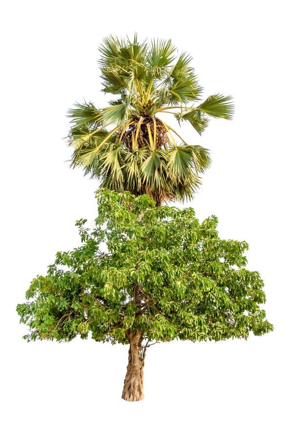 Φοίνικας με το δέντρο παρασίτων και χορτοτάπητας που απομονώνεται στο άσπρο υπόβαθρο στοκ φωτογραφία
