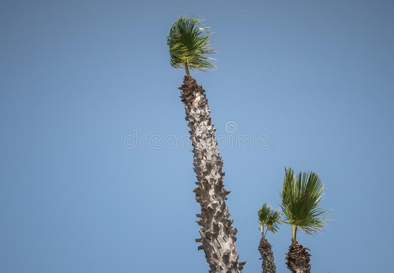 Φοίνικας που απομονώνεται σε ένα υπόβαθρο μπλε ουρανού στοκ εικόνα