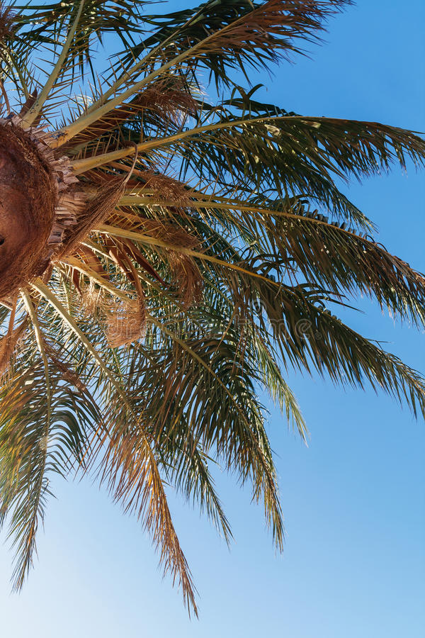 Φοίνικας σε ένα υπόβαθρο του μπλε ουρανού, άποψη από κάτω από στοκ φωτογραφίες με δικαίωμα ελεύθερης χρήσης