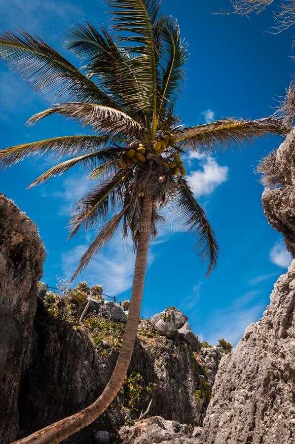 Φοίνικας σε μια καραϊβική παραλία σε Tulum Μεξικό στοκ φωτογραφία με δικαίωμα ελεύθερης χρήσης