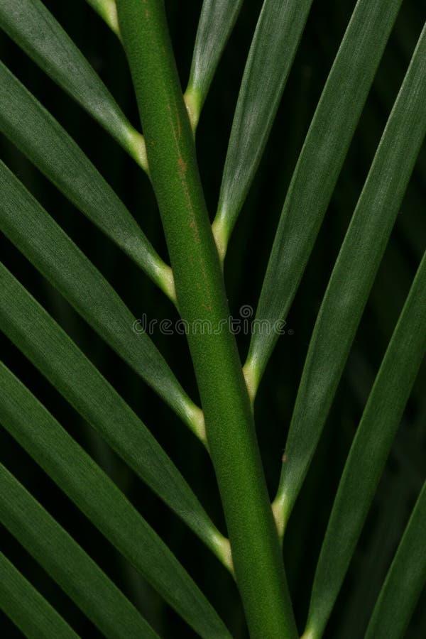 Download φοίνικας στοκ εικόνες. εικόνα από μίσχος, φύλλο, φυτό, δάσος - 390604