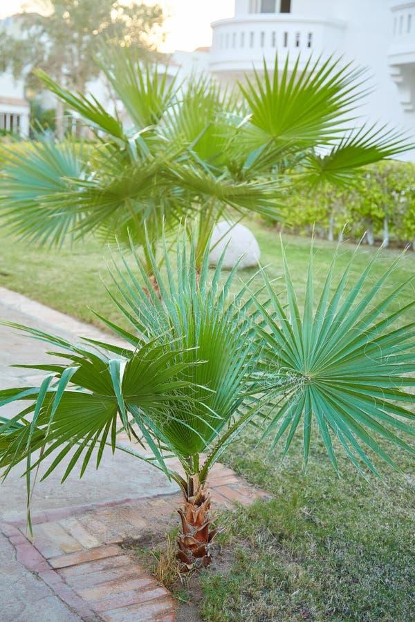 Φοίνικας filifera Washingtonia που αυξάνεται υπαίθρια στοκ φωτογραφία με δικαίωμα ελεύθερης χρήσης