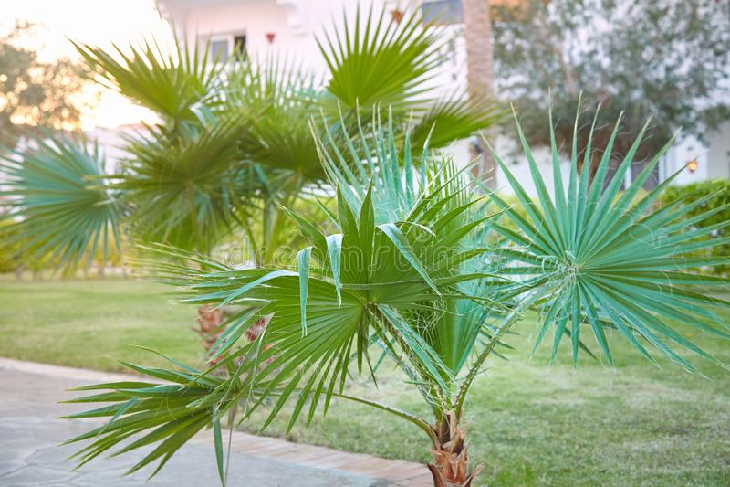 Φοίνικας filifera Washingtonia που αυξάνεται υπαίθρια στοκ εικόνες με δικαίωμα ελεύθερης χρήσης
