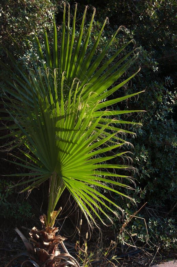 Φοίνικας Filifera Washingtonia στοκ εικόνα