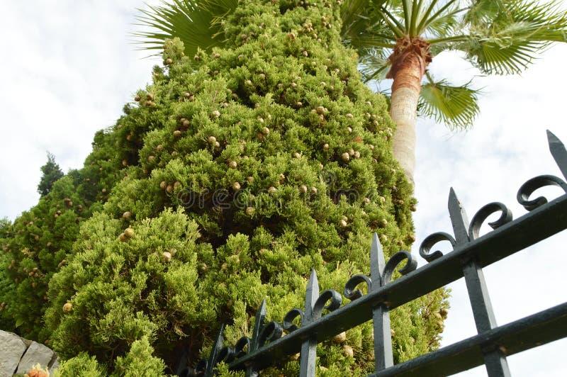 Φοίνικες και κυπαρίσσια με τους κώνους στο πάρκο ενάντια στο μπλε ουρανό, κατώτατη άποψη, φράκτης επεξεργασμένος-σιδήρου μετάλλων στοκ εικόνα με δικαίωμα ελεύθερης χρήσης