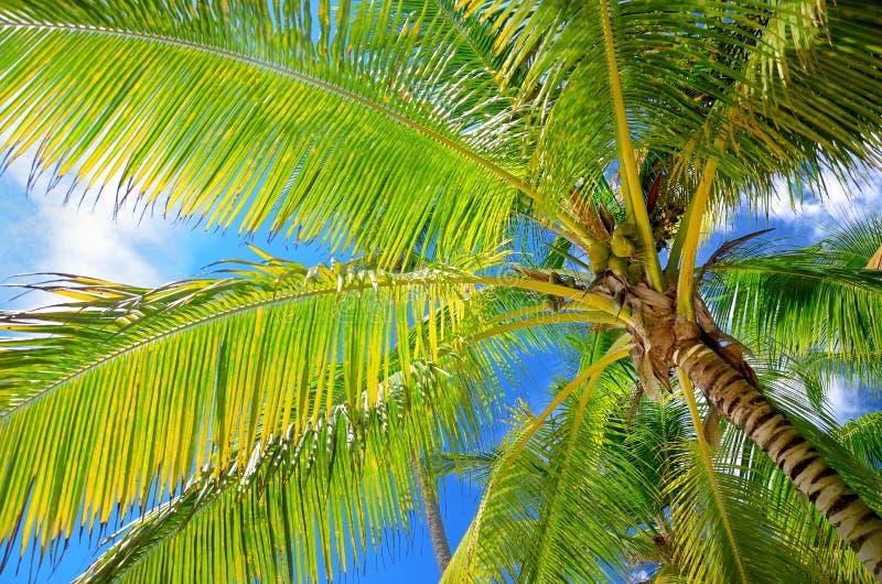 Φοίνικες καρύδων στο μπλε ουρανό με τα χνουδωτά σύννεφα perspectiv στοκ εικόνα με δικαίωμα ελεύθερης χρήσης