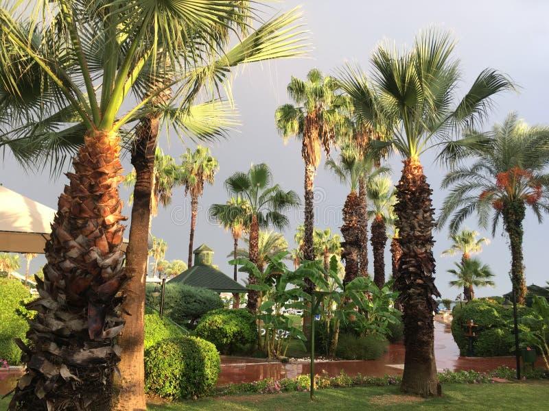 Φοίνικες που πλένονται με τη θερμή βροχή Σεπτεμβρίου, ήπια που λαμπιρίζει με την πρασινάδα στον ήλιο στοκ φωτογραφία