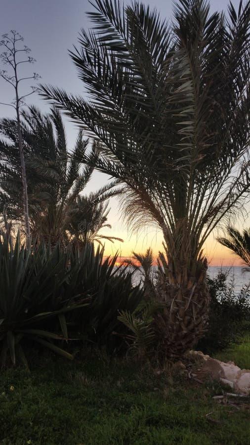 Φοίνικες σε ένα ηλιοβασίλεμα στοκ εικόνα με δικαίωμα ελεύθερης χρήσης