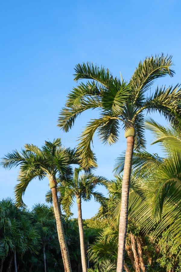Φοίνικες σε ένα υπόβαθρο μπλε ουρανού Μεξικό, Riviera Maya στοκ φωτογραφίες