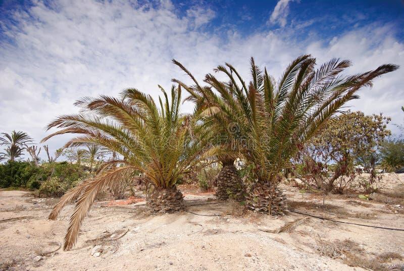 Φοίνικες σε Fuerteventura στοκ εικόνα