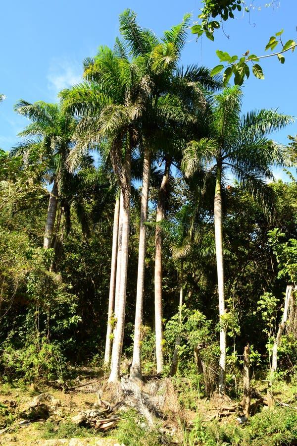Φοίνικες στην άγρια τροπική δασική EL Nicho, Cienfuegos, Κούβα στοκ εικόνες