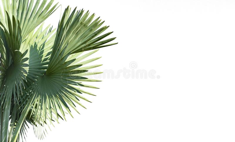 Φοίνικες Livistona Rotundifolia φύλλων ή φοίνικας ανεμιστήρων απομονωμένος στοκ φωτογραφίες