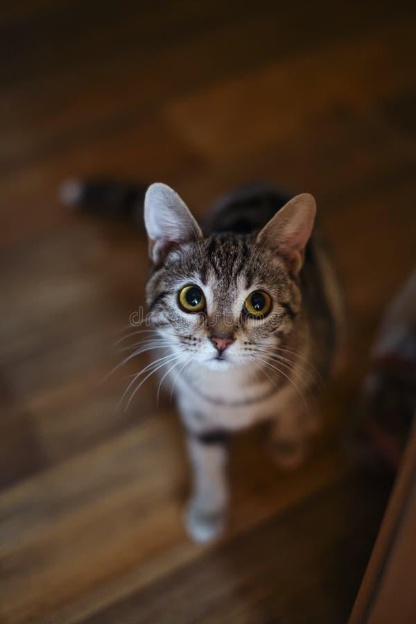 Φοβησμένη γάτα έτοιμη να επιτεθεί ξαφνικά στοκ φωτογραφία