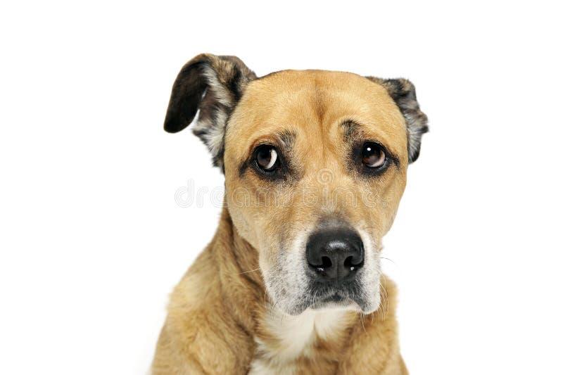 Φοβισμένο μικτό σκυλί φυλής σε ένα άσπρο υπόβαθρο στοκ φωτογραφία με δικαίωμα ελεύθερης χρήσης