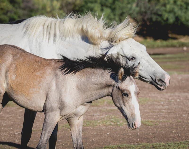 Φοράδα και foal της - αλατισμένα άγρια άλογα ποταμών στοκ εικόνες με δικαίωμα ελεύθερης χρήσης