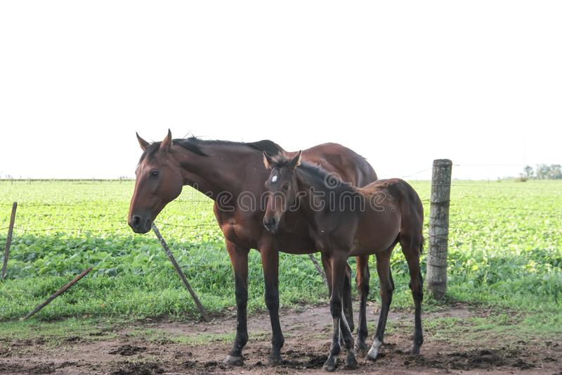 Φοράδες και foals αλόγων στην αργεντινή επαρχία στοκ φωτογραφίες με δικαίωμα ελεύθερης χρήσης