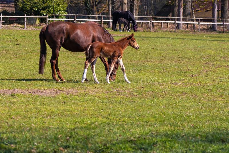 Φοράδες με foal στο λιβάδι, Lüneburger Heide, βόρεια Γερμανία στοκ φωτογραφία με δικαίωμα ελεύθερης χρήσης