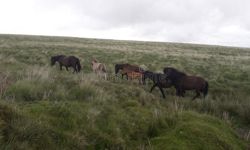 Φοράδες Dartmoor με foals στοκ εικόνα