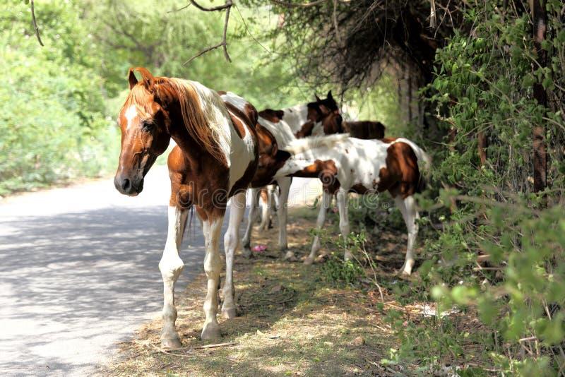 Φοράδα - ένα θηλυκό άλογο με ebony της στοκ φωτογραφίες με δικαίωμα ελεύθερης χρήσης