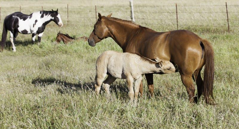 Φοράδα και foal μαζί σε έναν τομέα στοκ φωτογραφίες