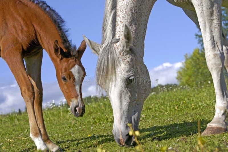 Φοράδα και Foal στο λιβάδι στοκ φωτογραφίες