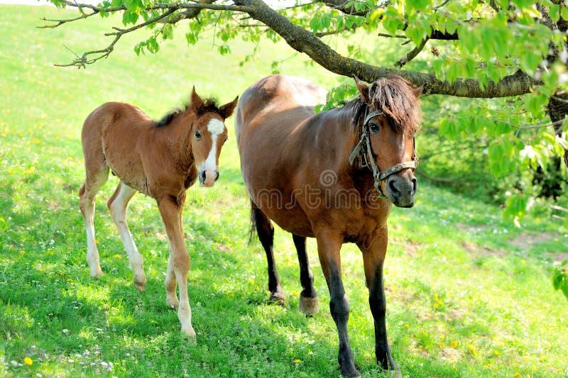 Φοράδα και foal της στοκ εικόνα