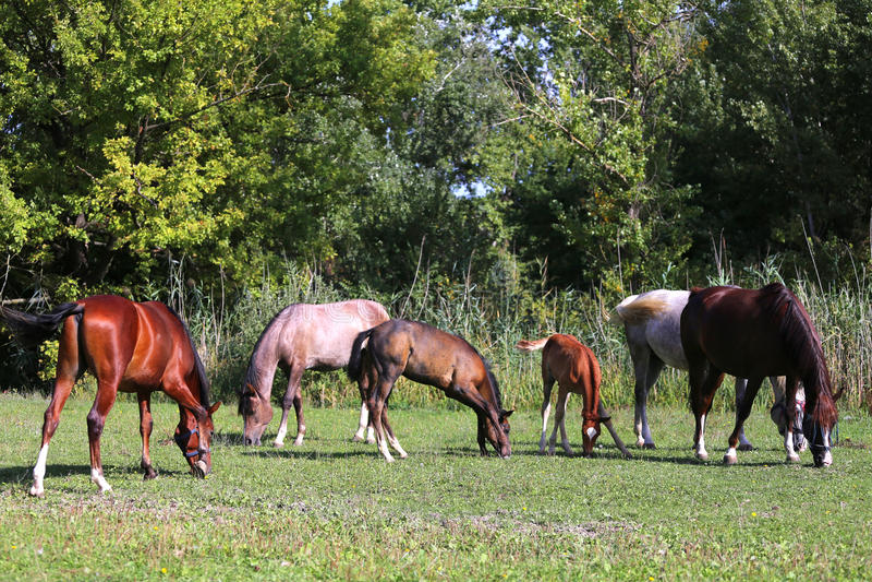 Φοράδες και foals που βόσκουν μαζί στο λιβάδι στο αγρόκτημα αλόγων στοκ εικόνες