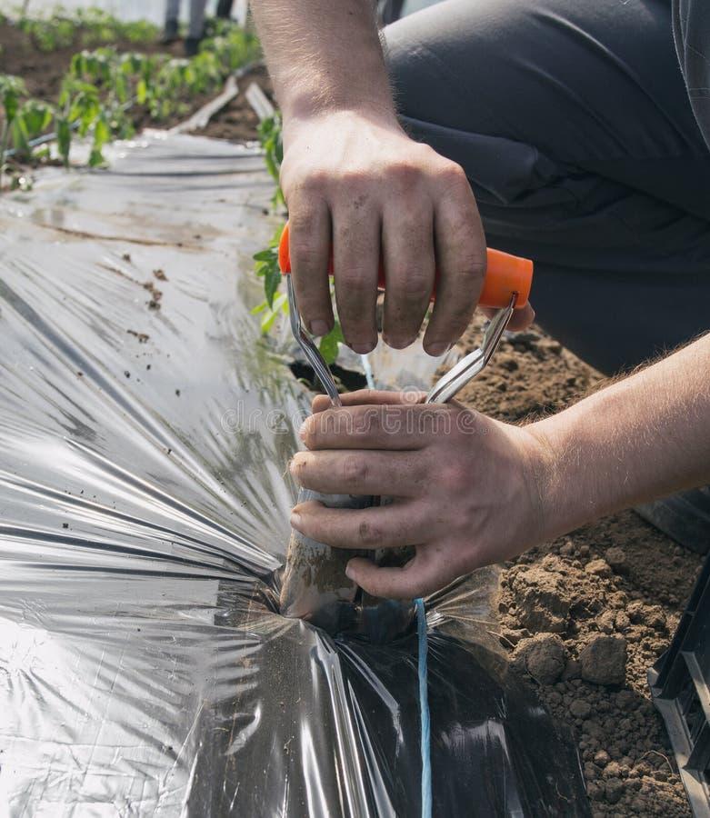 Φορητό transplanter για τη φύτευση των σποροφύτων ντοματών στοκ εικόνα