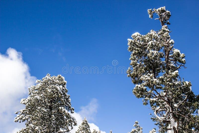 Φορτωμένα χιόνι δέντρα τη σαφή ημέρα στοκ εικόνα
