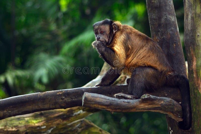 Φουντωτός capuchin πίθηκος στοκ εικόνα με δικαίωμα ελεύθερης χρήσης