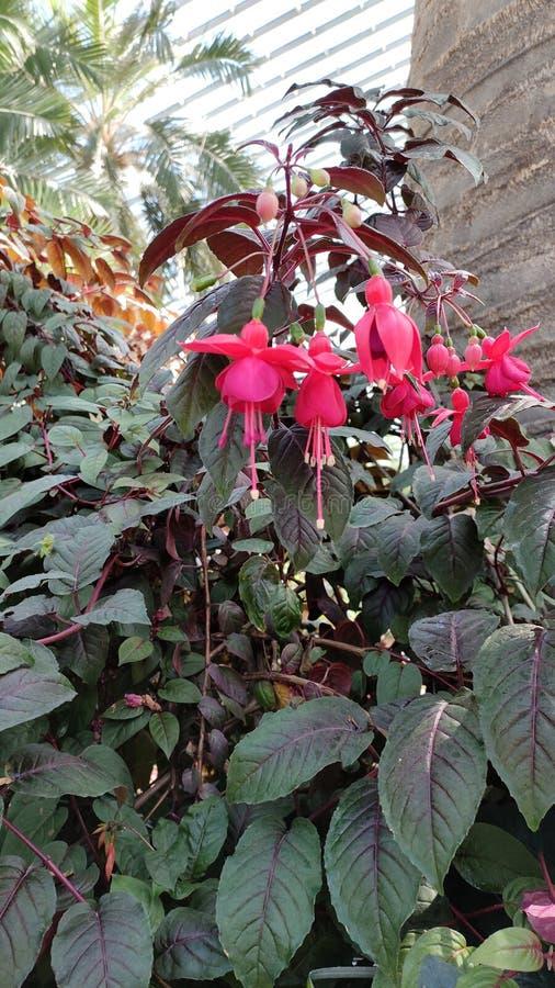 Φούξια λουλούδια με τα πράσινα φυτά φύλλων στοκ φωτογραφίες με δικαίωμα ελεύθερης χρήσης