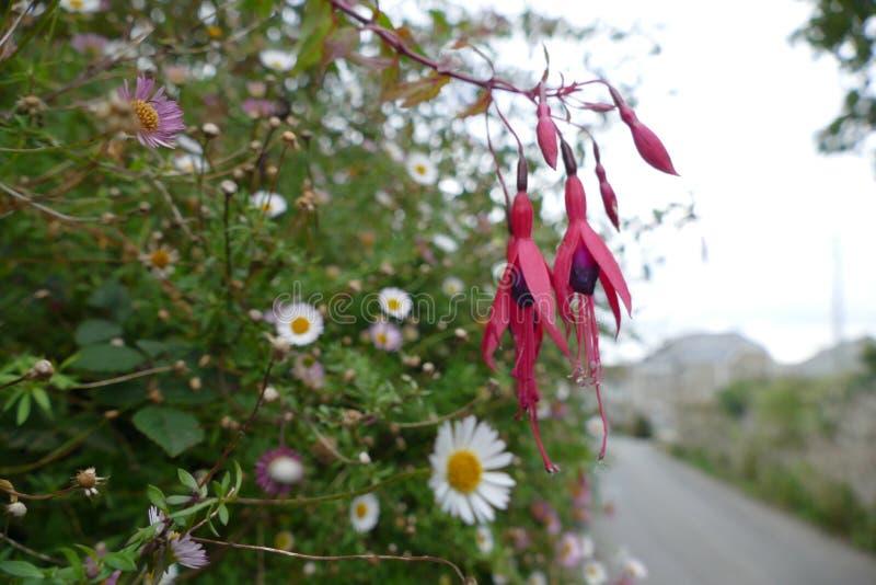 Φούξια λουλούδι στοκ φωτογραφία με δικαίωμα ελεύθερης χρήσης