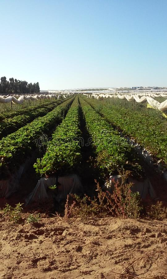 φράουλα πεδίων στοκ εικόνα με δικαίωμα ελεύθερης χρήσης