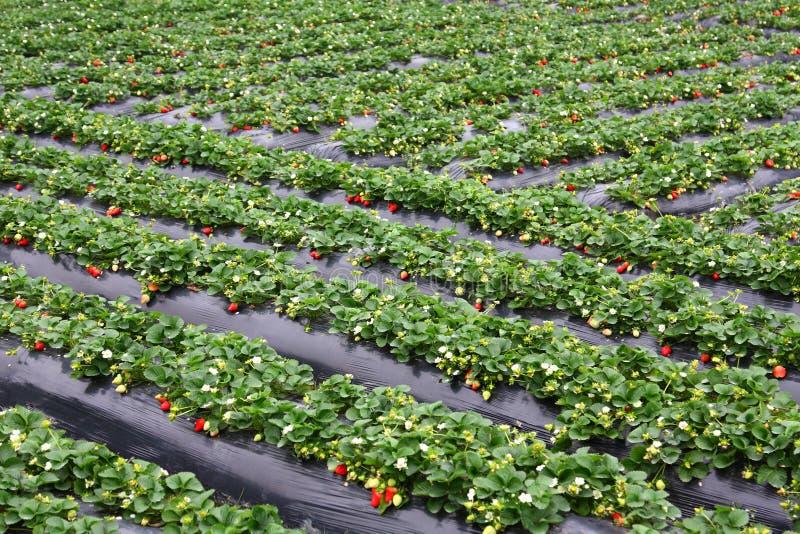 φράουλα πεδίων στοκ εικόνες