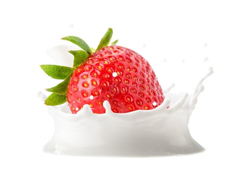 Φράουλα που περιέρχεται στην κινηματογράφηση σε πρώτο πλάνο παφλασμών γάλακτος στο άσπρο υπόβαθρο Απομονωμένος στοκ εικόνες